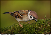 Tree Sparrow - Tree Sparrow searching for food
