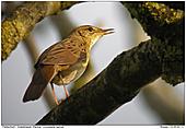 Grashopper Warbler - Grashopper Warbler