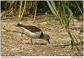 Common Sandpiper - Common Sandpiper