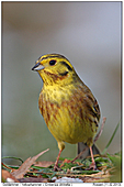 Yellowhammer - Yellowhammer - Male