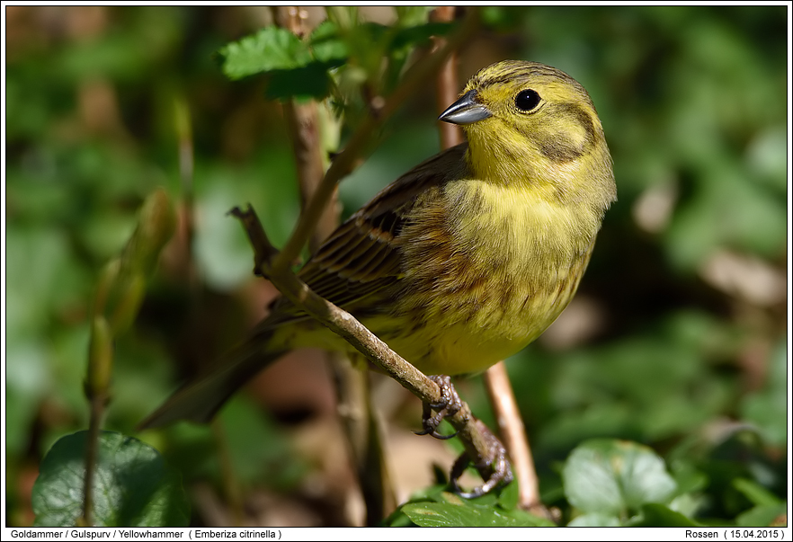 songbirds photos digital nature photography photo. Black Bedroom Furniture Sets. Home Design Ideas