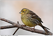 Yellowhammer - Female Yellowhammer