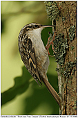 Short-toed Tree Creeper - Short-toedTree Creeper