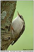 Short-toed Tree Creeper - Short-toed Tree Creeper