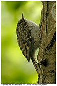 Short-toed Tree Creeper - Juvenile Tree Creeper