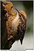 Short-toed Tree Creeper - Tree Creeper with prey