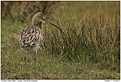 Curlew - Curlew