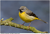 Grey Wagtail - Grey Wagtail - Male