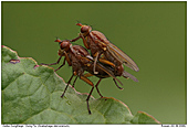 Dung Fly - Mating of Dung Flies