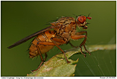 Dungfliege - Dung Fly in the sun