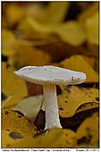 False Death Cap - False Death Cap
