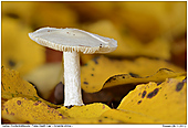 False Death Cap - False Death Cap between Leafs