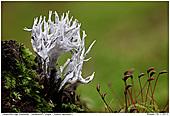 Candlesnuff Fungus - Candlesnuff Fungus
