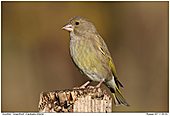 Greenfinch - Female Greenfinch
