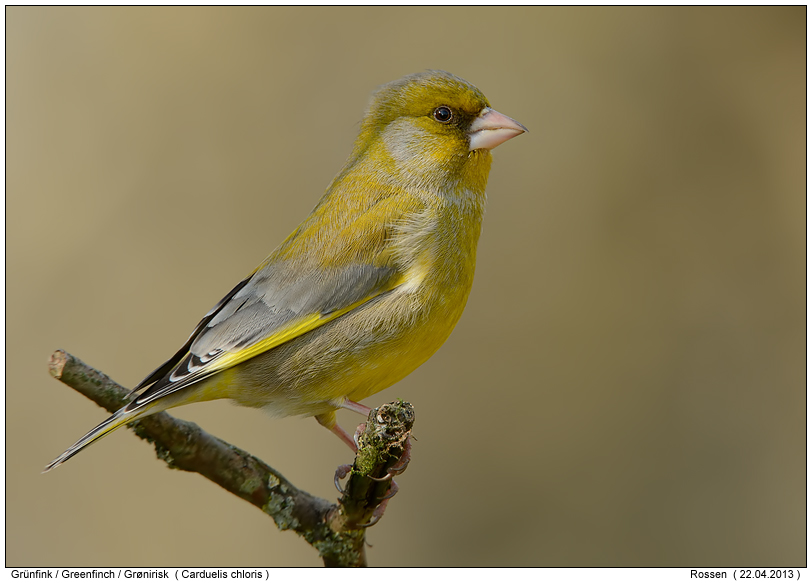 greenfinch photos digital nature photography photo greenfinch images image pics. Black Bedroom Furniture Sets. Home Design Ideas