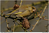 Greenfinch - Greenfinch