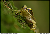 Common Frog - Juvenile Common Frog
