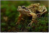 Common Frog - Common Frog in the Forest