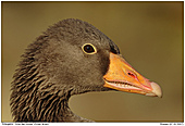 Grey-lag Goose - Grey-lag Goose - Portrait
