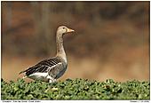 Grey-lag Goose - Male Grey-lag Goose