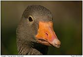 Grey-lag Goose - Grey-lag Goose