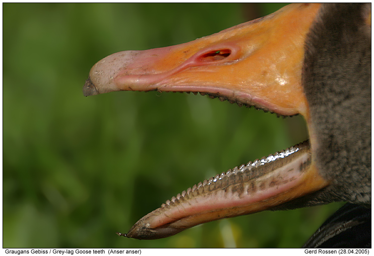 Goose teeth