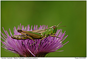 Meadow Grashopper - Grashopper on Thistle