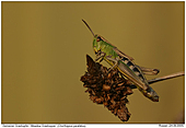Meadow Grashopper - Meadow Grashopper