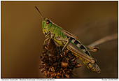 Meadow Grasshopper - Meadow Grasshopper