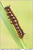 The Drinker - Caterpillar - Caterpillar Of The Drinker