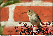 Garden Warbler - Garden Warbler