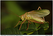 Great Green Bush Cricket - Great Green Bush-Cricket