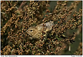 Serin - Serin Eating Seed