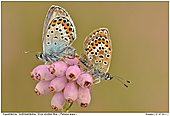 Silver-studded Blue - Silver-studded Blue - Mating