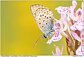 Silver-studded Blue - Silver-studded Blue