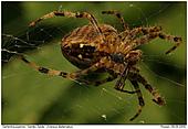 Garden Spider - Garden Spider Eating
