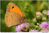 Meadow Brown - Meadow Brown on Thistle