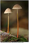 Saffrondrop Bonnet - Saffrondrop Bonnet Fungi