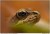 Grasfrosch - Common Frog