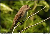 Spotted Flycatcher - Stormy weather