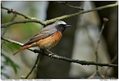 Common Redstart - Male Redstart