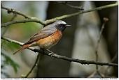 Common Redstart - Male Redstart