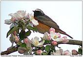 Redstart - In an apple tree