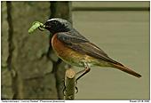 Common Redstart - Redstart with prey
