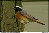 Common Redstart - Redstart at the nest