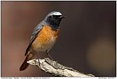 Redstart - Redstart