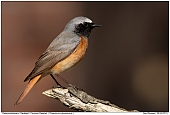 Common Redstart - Common Redstart
