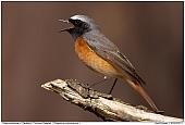 Common Redstart - Singing Redstart