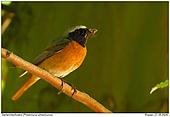 Redstart - Feeding Time
