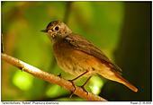Redstart - Female Redstart